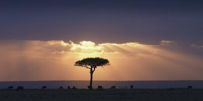 An Acacia Tree and Wildebeest under a Sunset; Kenya, Africa by Design Pics Inc