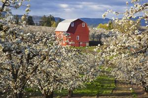 Apple Blossom Trees and a Red Barn by Design Pics Inc