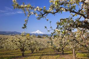 Apple Blossom Trees by Design Pics Inc