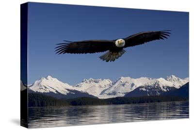 Bald Eagle in Flight Inside Passage Tongass National Forest Se Alaska Spring by Design Pics Inc