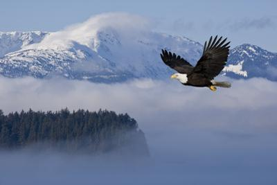 Bald Eagle in Flight over the Inside Passage with Tongass National Forest in the Background, Alaska by Design Pics Inc