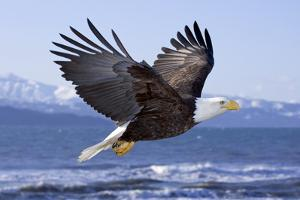 Bald Eagle in Mid-Air Flight over Homer Spit Kenai Peninsula Alaska Winter Kachemak Bay by Design Pics Inc