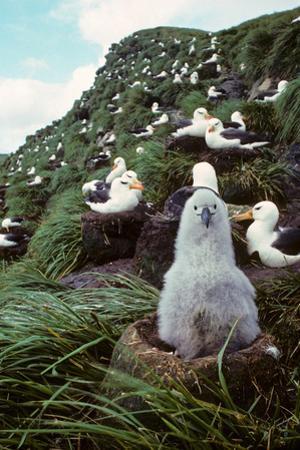 Black-Browed Albatross Chick Sitting on Nest Bird Island Antarctica Spring