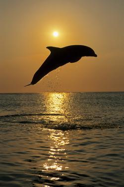 Bottle Nose Dolphin Jumping at Sunset Roatan Honduras Summer Backlit Silhouette by Design Pics Inc