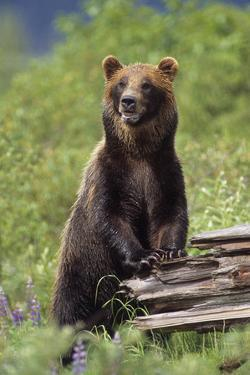 Brown Bear Standing Upright on Log Captive Alaska Wildlife Conservation Center Southcentral Alaska by Design Pics Inc