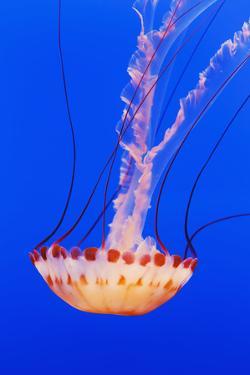 California, Monterey, an Orange Jellyfish (Cnidarian) in the Monterey Aquarium by Design Pics Inc