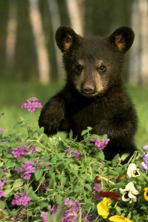 Captive Black Bear Cub Playing in Flowers Minnesota by Design Pics Inc