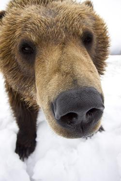 Captive Extreme Close-Up of Brown Bear at the Alaska Wildlife Conservation Center by Design Pics Inc