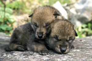 Captive Wolf Pups on Rock Minnesota by Design Pics Inc