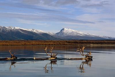 Caribou Bulls Swimming across Kobuk River Arctic Alaska Autumn Kobuk Valley National Park by Design Pics Inc