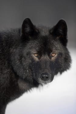 Close-Up Archipelago Wolf by Design Pics Inc