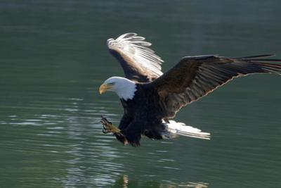 Close Up of a Bald Eagle Catching a Fish Out of the Inside Passage Waters of Southeast Alaska by Design Pics Inc
