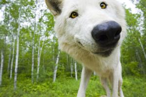 Closeup of Adult Wolf Face in Forest Minnesota Spring Captive by Design Pics Inc