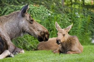 Cow Moose and Calves Laying on Lawn in Anchorage Residents Yard, Sc Alaska Spring by Design Pics Inc