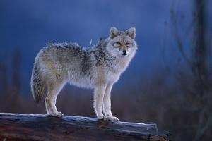 Coyote Standing on Log Alaska Wildlife Conservation Center Winter Sc Alaska by Design Pics Inc