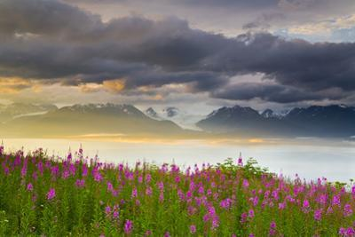 Field of Fireweed on Hill Overlooking Kachemak Bay and Grewingk Glacier