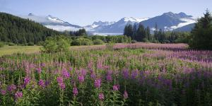 Field of Fireweed with Coast Mountains and Mendenall Glacier by Design Pics Inc