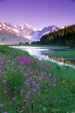 Fireweed in Bloom Along Pond with Chugach Mtns Sc Ak Summer by Design Pics Inc