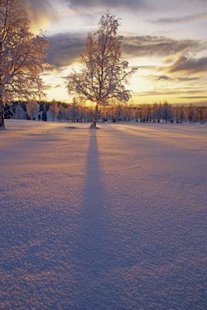 Frost Covered Birch Tree at Sunset Arctic Valley Sc Ak by Design Pics Inc