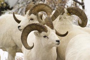 Group of Dall Sheep Denali National Park Interior Alaska Fall by Design Pics Inc