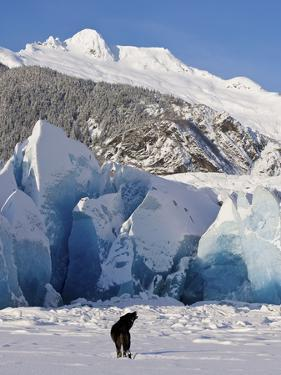 Howling on a Winter Afternoon a Black Wolf Calls Pack at the Face of Mendenhall Glacier by Design Pics Inc