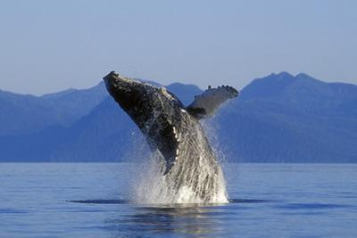 Humpback Whale Breaching in Inside Passage Se Ak Summer by Design Pics Inc