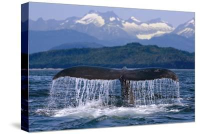 Humpback Whale Tail on Surface Just before Diving Inside Passage Alaska Southeast Summer by Design Pics Inc