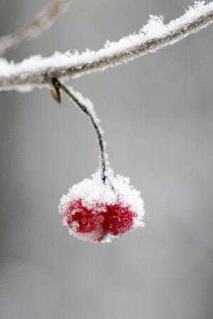 Ice Crusted Frozen Berries Hanging on Branch Southcentral Alaska Winter by Design Pics Inc