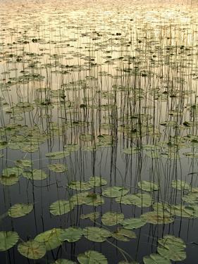 Lilies on Deadman Lake at Sunset Tetlin Nwr Sc Ak Summer by Design Pics Inc
