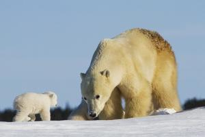 Mother Polar Bear (Ursus Maritimus) Playing with Her Cub in Wapusk National Park; Churchill by Design Pics Inc