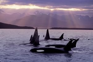 Orca Pod in Lynn Canal with Sunrays on Chilkat Mtn Ak Se Summer Evening by Design Pics Inc