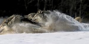 Pack of Grey Wolves Running Through Deep Snow Captive Ak Se Winter by Design Pics Inc