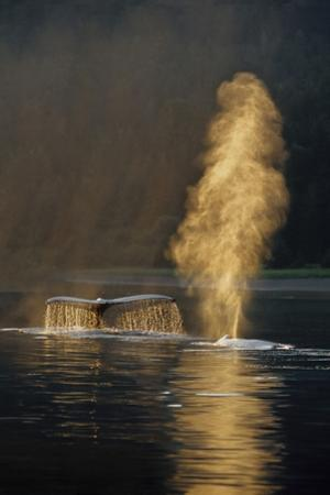 Pair of Humpback Whales Swimming on Surface