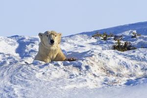 Polar Bear (Ursus Maritimus) in Wapusk National Park; Churchill, Manitoba, Canada by Design Pics Inc