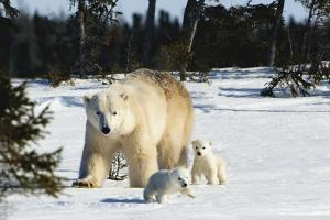 Polar Bear (Ursus Maritimus) Sow and Cubs Walking in Wapusk National Park; Churchill by Design Pics Inc