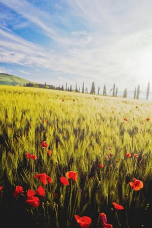 Poppies in Wheat Field at Dawn by Design Pics Inc