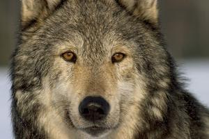 Portrait of Grey Wolf Captive Alaska Se Winter by Design Pics Inc