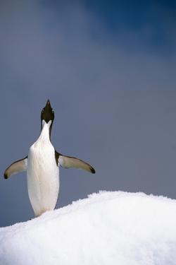 Portrait of Single Adelie Penguin Atop Iceberg South Atlantic Ocean Antarctica Summer by Design Pics Inc