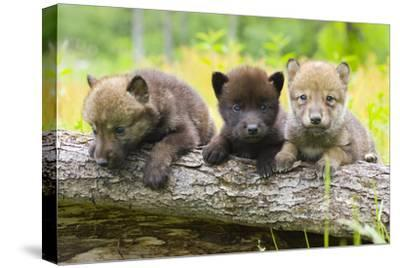 Portrait of Young Cute Wolf Pups on Log Minnesota Spring Captive by Design Pics Inc