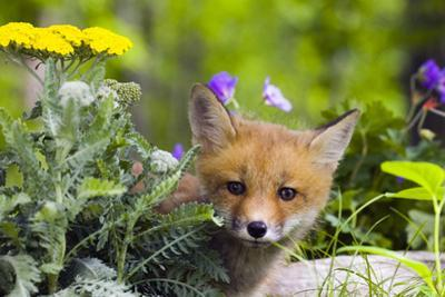 Red Fox Kit in Spring Wildflowers Minnesota Captive by Design Pics Inc