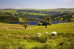 Sheffield, South Yorkshire, England; Sheep Grazing in a Pasture by Design Pics Inc