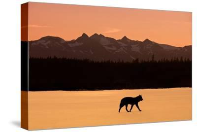 Silhouette of a Wolf Walking at Sunset, Tongass National Forest, Southeast, Alaska by Design Pics Inc