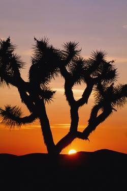 Silhouette of Joshua Tree at Sunset by Design Pics Inc
