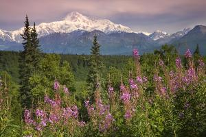 Southside View of Mt.Mckinley with Fireweed Southcentral Alaska Summer Along Parks Highway by Design Pics Inc