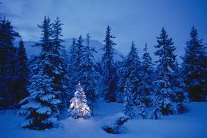 Spruce Tree in Forest with Christmas Lights Ak Winter by Design Pics Inc