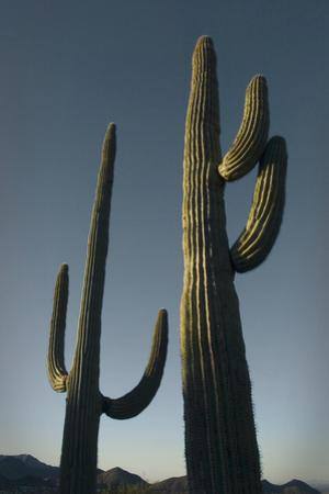 Two Saguaro Cacti in the Sonoran Desert by Design Pics Inc