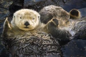 Two Sea Otters Holding Paws at Vancouver Aquarium in Vancouver, British Columbia Canada by Design Pics Inc