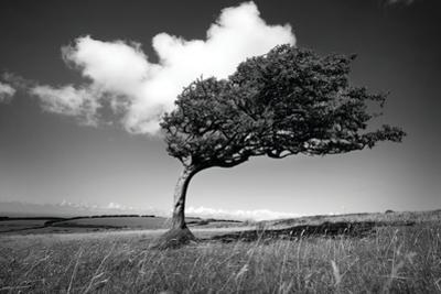 Wind-Swept Solitary Tree on Open Grassy Moorland by Design Pics Inc