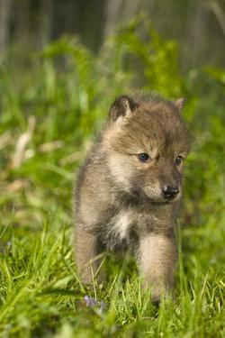Wolf Pup in Grass Captive Minnesota Spring by Design Pics Inc