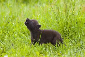 Young Wolf Pup in Meadow Instinctively Howling Minnesota Spring Captive by Design Pics Inc